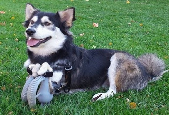 Üç boyutlu yazıcıyla yapılmış protez ayaklara sahip köpek: Derby!